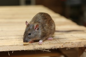 Rodent Control, Pest Control in Moorgate, Liverpool Street, EC2. Call Now 020 8166 9746