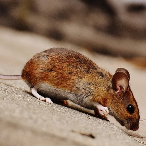 Mice, Pest Control in Moorgate, Liverpool Street, EC2. Call Now! 020 8166 9746