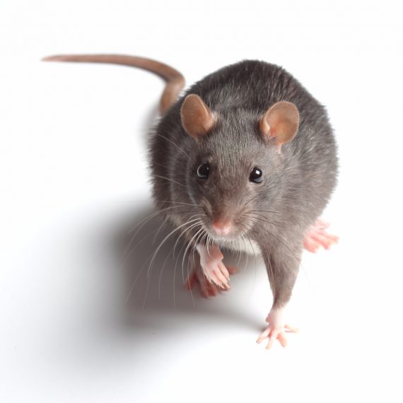 Rats, Pest Control in Moorgate, Liverpool Street, EC2. Call Now! 020 8166 9746