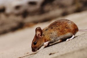 Mice Exterminator, Pest Control in Moorgate, Liverpool Street, EC2. Call Now 020 8166 9746